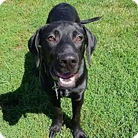 Adopt A Pet :: PAULIE - New Windsor, NY