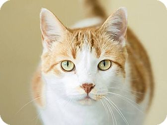 Domestic Shorthair Cat for adoption in Berkeley, California - Blessy  CP