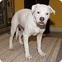 Bulldog/Boxer Mix Puppy for adoption in Orland Park, Illinois - Blue