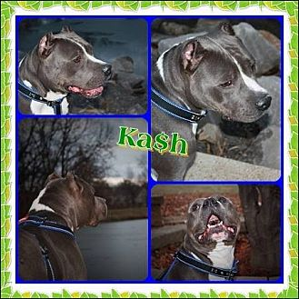 American Staffordshire Terrier/American Pit Bull Terrier Mix Dog for adoption in Louisiana, Missouri - Kash