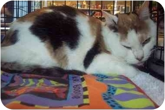 Domestic Shorthair Cat for adoption in Easley, South Carolina - Marley