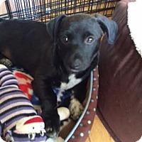 Adopt A Pet :: Ross - Knoxville, TN