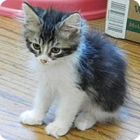 Adopt A Pet :: Matisse - Davis, CA