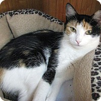 Calico Cat for adoption in Albuquerque, New Mexico - Hasani