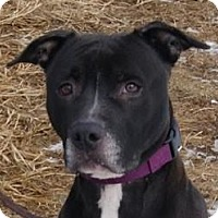 Boxer Mix Dog for adoption in Monroe, Michigan - Toots