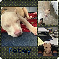Adopt A Pet :: Petey - bridgeport, CT