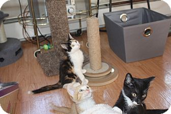 Calico Kitten for adoption in St. Louis, Missouri - Vespa