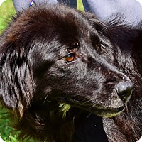 Adopt A Pet :: Ziva - New Canaan, CT