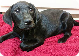 Labrador Retriever Mix Puppy for adoption in Hammonton, New Jersey - Sydni