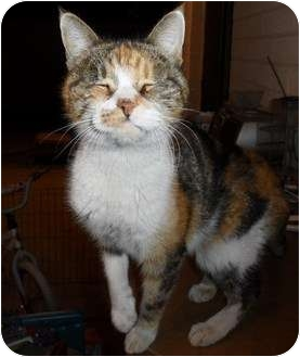 Calico Cat for adoption in Phoenix, Arizona - LITTLE MISS PEACH