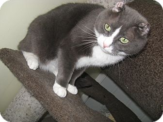 Scottish Fold Cat for adoption in Warwick, Rhode Island - Wilson