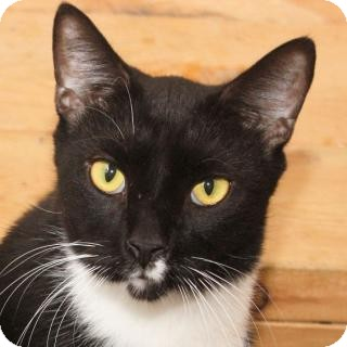 Domestic Shorthair Cat for adoption in St. James City, Florida - Stash