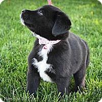 Adopt A Pet :: Kori - Broomfield, CO