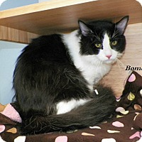 Adopt A Pet :: Bombay - Dover, OH