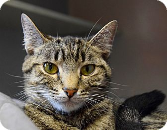 Domestic Shorthair Cat for adoption in Des Moines, Iowa - Thelma