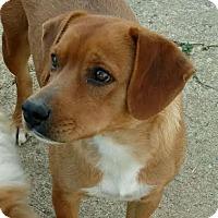 Adopt A Pet :: Penny - Harrisonburg, VA
