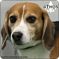 Beagle Dog for adoption in South Plainfield, New Jersey - Athos