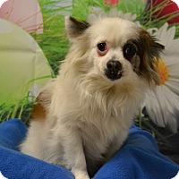 Adopt A Pet :: Gizmo - Lebanon, MO