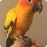 Conure for adoption in Stratford, Connecticut - Tula