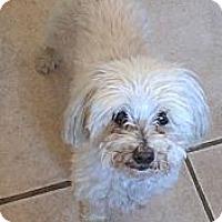 Adopt A Pet :: Snowball - Denver, CO