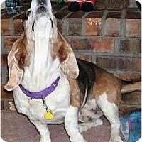 Adopt A Pet :: Noelle - Phoenix, AZ