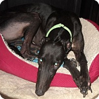 Adopt A Pet :: Avie Double You - Knoxville, TN