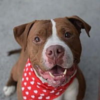 American Pit Bull Terrier Mix Dog for adoption in Manhattan, New York - Masters