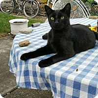 Domestic Shorthair Cat for adoption in Harrison, New York - Buttons