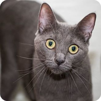 Domestic Shorthair Cat for adoption in Lombard, Illinois - Binx