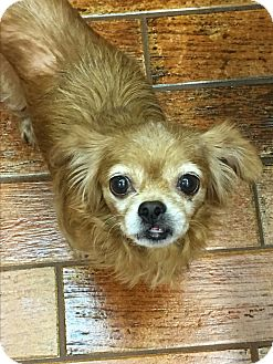 Chihuahua Mix Dog for adoption in Lehigh, Florida - Pixie