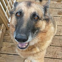German Shepherd Dog Dog for adoption in Asheville, North Carolina - Sasha and Thor (Courtesy Post)