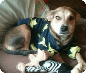 Shepherd (Unknown Type)/Beagle Mix Dog for adoption in Laingsburg, Michigan - Lilly