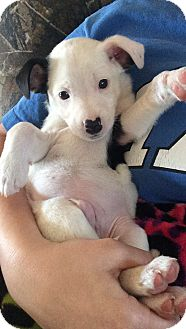 Blue Heeler/Jack Russell Terrier Mix Puppy for adoption in Union Grove, Wisconsin - Soco