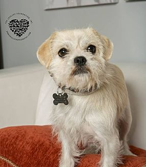 Terrier (Unknown Type, Small)/Poodle (Standard) Mix Dog for adoption in Inglewood, California - Roxy