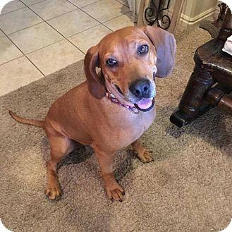 Redbone Coonhound Mix Dog for adoption in Hurricane, Utah - ROSIE