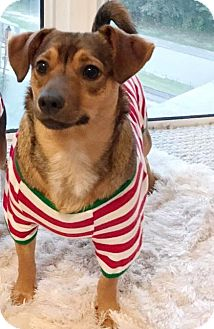Dachshund Mix Dog for adoption in Ft. Lauderdale, Florida - Nero