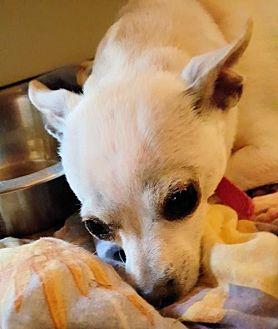 Chihuahua Dog for adoption in Elizabethtown, Pennsylvania - Logan