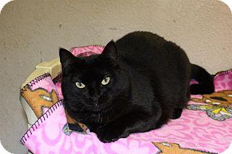 Domestic Shorthair Cat for adoption in St. Petersburg, Florida - Aspen
