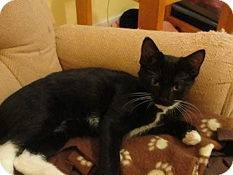 Domestic Shorthair Kitten for adoption in Southington, Connecticut - Rose