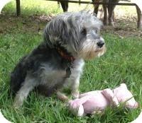 Schnauzer (Miniature) Dog for adoption in Kingwood, Texas - Hayley
