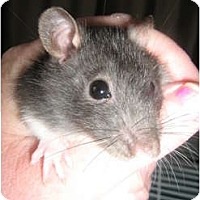 Adopt A Pet :: Tom - Cincinnati, OH