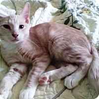 Adopt A Pet :: Snaggle Puss - Kirkwood, DE