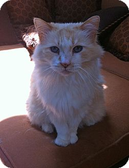 Domestic Mediumhair Cat for adoption in Novato, California - Flame