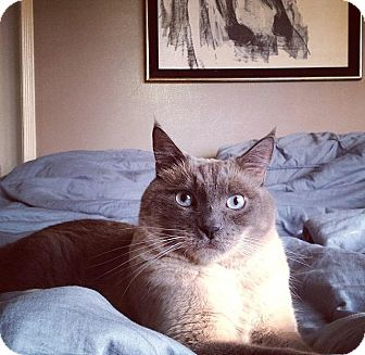 Siamese Cat for adoption in Alhambra, California - Emery
