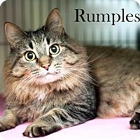 Adopt A Pet :: Rumples - Shelton, WA