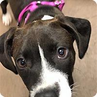 Adopt A Pet :: Cannoli - Colorado Springs, CO