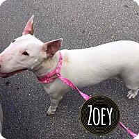 Adopt A Pet :: Zoey - Lake Worth, FL
