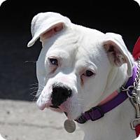 Adopt A Pet :: Rocky Balboa - Denver, CO