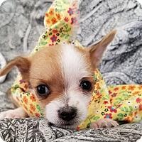 Adopt A Pet :: Cera - Apple Valley, CA