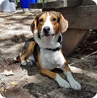 Beagle/Foxhound Mix Dog for adoption in Charelston, South Carolina - Stewart